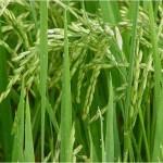 1.Brown Rice