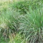 aromatic_herbal_lemon_grass